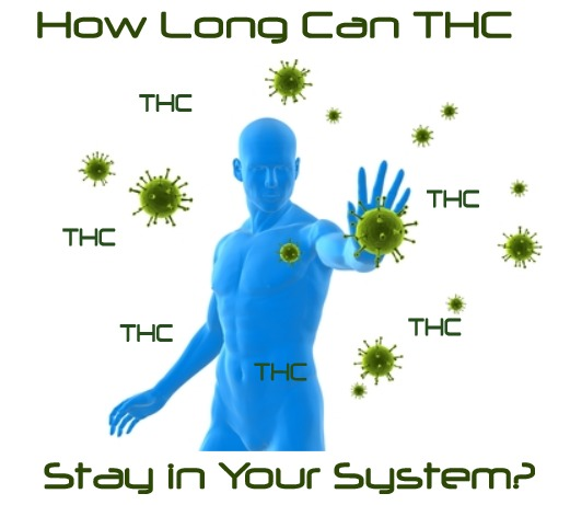 How long can THC stay in your system?